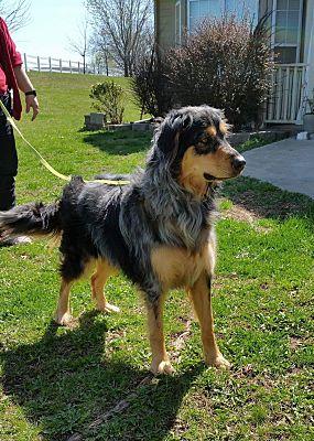 Australian Shepherd Rottweiler Mix Size | Goldenacresdogs.comAustralian Shepherd Rottweiler Mix Information