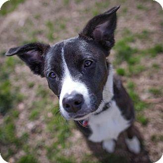 Winston Salem Nc Border Collie Meet Cece A Pet For Adoption