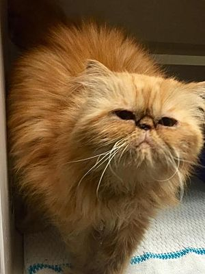 Houston Tx Persian Meet Famous Declawed A Pet For Adoption