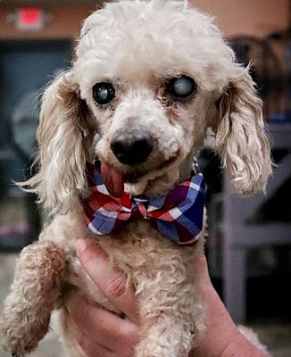 Springfield Mo Toy Poodle Meet Fred A Pet For Adoption