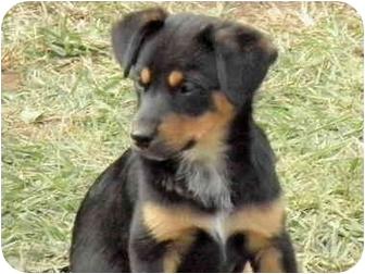 Brooksville, FL - Australian Cattle Dog  Meet TX HEELER PUPS