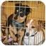 Photo 3 - Chihuahua Mix Dog for adoption in Palmdale, California - Ziggy