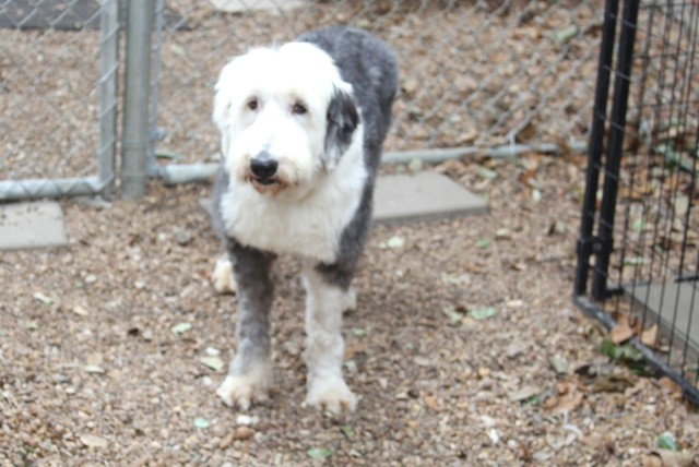 Allentown, PA - Old English Sheepdog  Meet Sterling a Pet