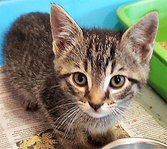 Adopt A Pet :: Tiger  - Dumfries, VA