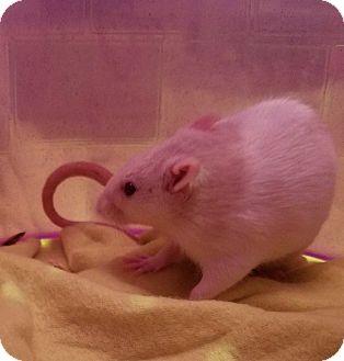 Rat for adoption in Dallas, Texas - Aurora & Rose