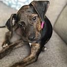 Adopt A Pet :: Dijon