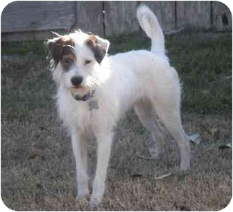 Houston Tx Jack Russell Terrier Meet Wallace A Pet For Adoption