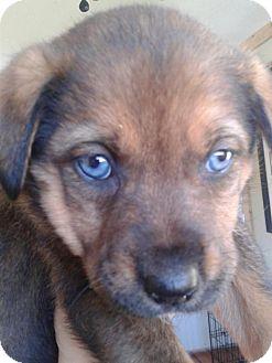 Lima Pa Australian Shepherd Meet Litter Of 8 Pups 8 Weeks Old A