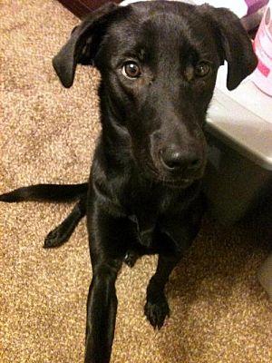 antioch ca labrador retriever meet king a dog for adoption
