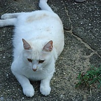 Adopt A Pet :: Creamsicle - Central Islip, NY