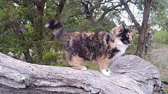 Adopt A Pet :: Manchas  - Fischer, TX