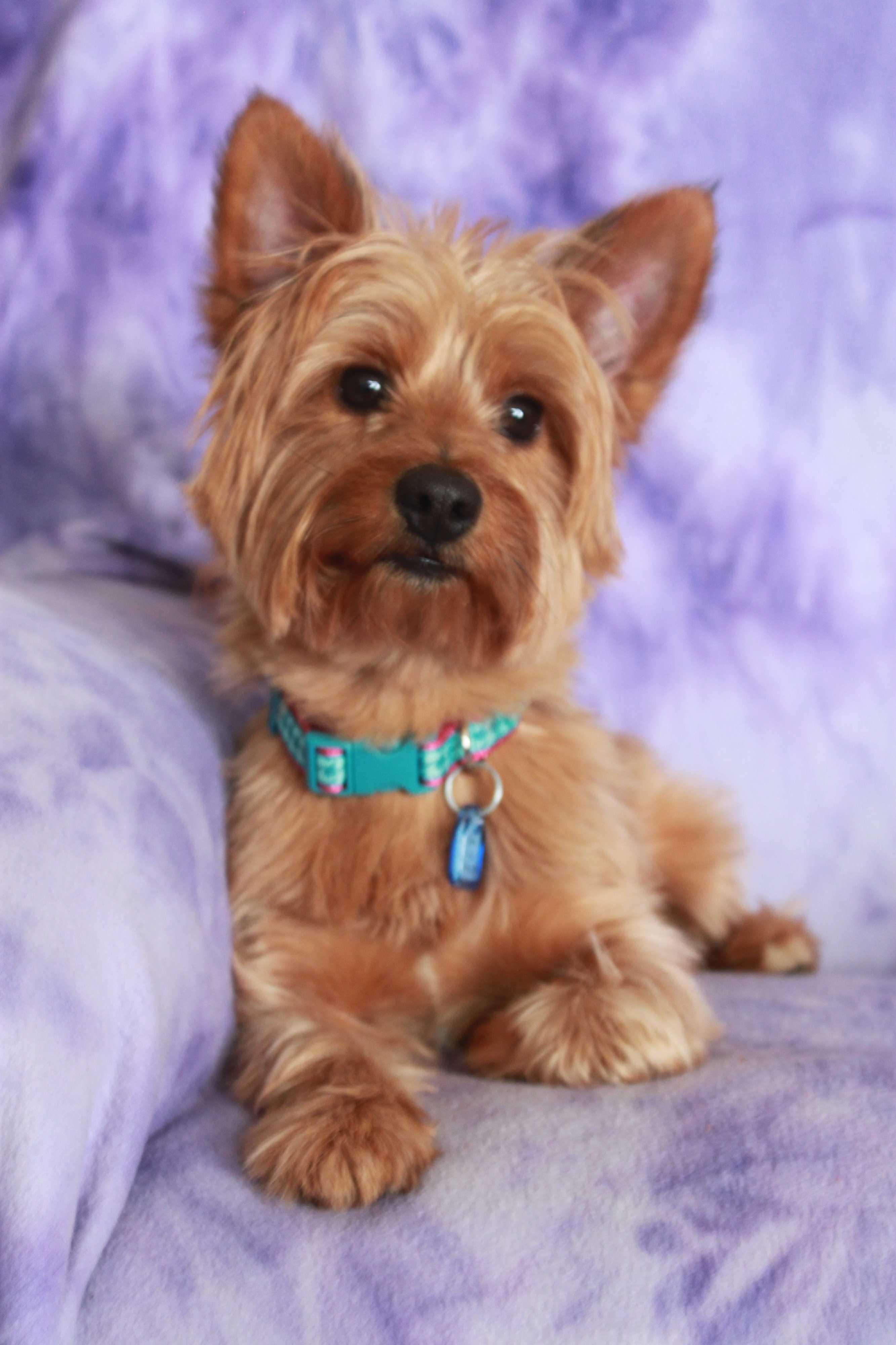 Wichita Ks Yorkie Yorkshire Terrier Meet Kobie A Pet For