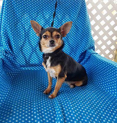 Brattleboro, VT - Chihuahua  Meet Ambra a Pet for Adoption