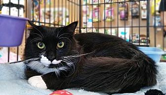 Domestic Longhair Cat for adoption in Cranford, New Jersey - Joey